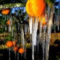 zaleđene naranče u Floridi