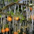 zaleđene naranče na jugozapadu Floride