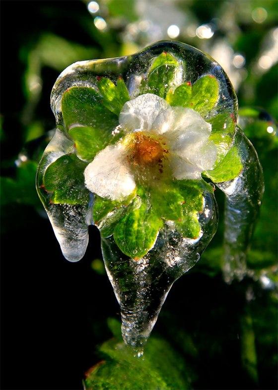 Ledom okovani cvjetovi jagode. Iako još uvijek nema podataka o poljoprivrednim štetama na Floridi, čini se da će ih biti dosta.