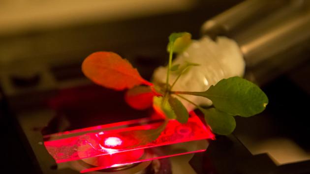Znanstvenici koriste gotovo infra-crvene mikroskope kako bi provjerili koliko je biljka asimilirala nanotuba, Na slici vidite narančasti list koji je boju dobio osvjetljavanjem nanotuba.