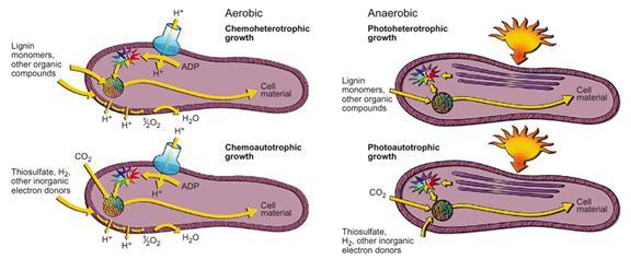 Četiri različite vrste metabolizma u jednoj bakteriji - Rhodopseudomonas palustris.