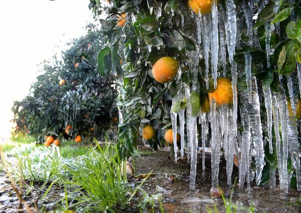 Florida krajem 2013., na slici vidite u potpunosti zaležene nasade naranče, takvo što do 2011. nije bilo moguće, a sada se događa svake zime.