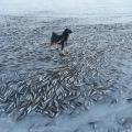 Norveška, smrznute ribe
