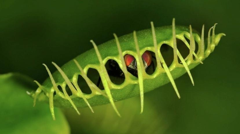 """Najpoznatija biljka mesožderka u trenutku zatvaranja svoje osebujne klopke. Nakon toga proteini iz insekta postaju """"hrana"""" za biljku."""