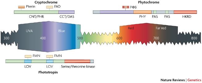 Fototropini i fitokromi određuju mogućnosti biljnog vida.