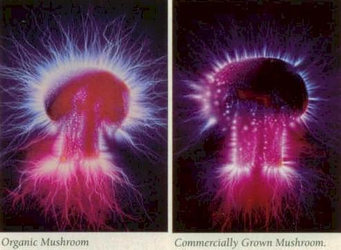 Usporedite aure organski uzgojene i industrijski uzgojene gljive.