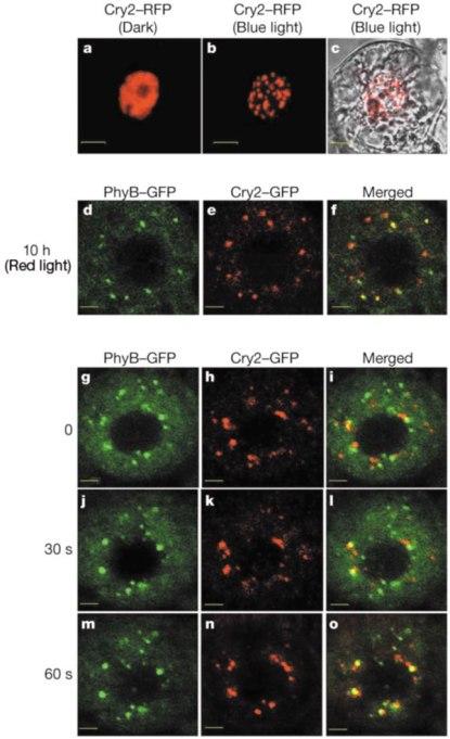 Reakcija biljaka na različitu svjetlost, različiti proteini skupljaju određenu svjetlost te počnu odašiljati neonski sjaj.