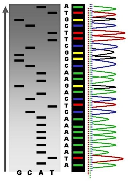 DNK sekvencioniranje i poznati nukleotidi.