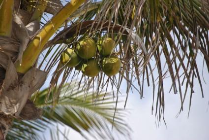 Palma kokosa sa plodom.