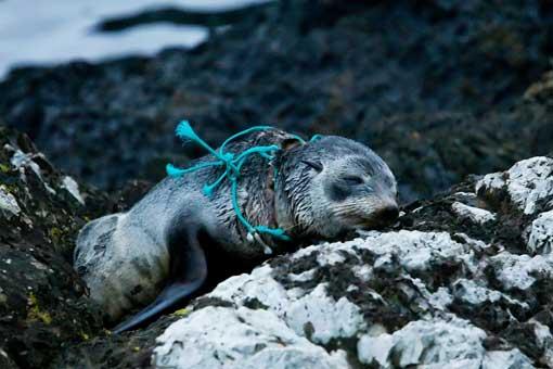 Sve je više slučajeva u kojima se morske životinje uguše zbog plastičnog otpada, naročito su ugroženi sjeverni tuljani, morske kornjače i dupini.