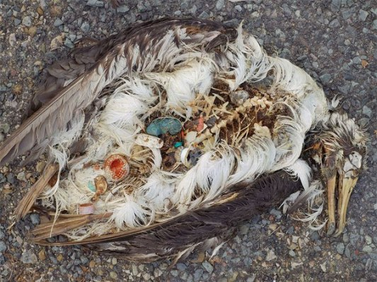 Morska ptica umrla zbog trovanja plastikom.