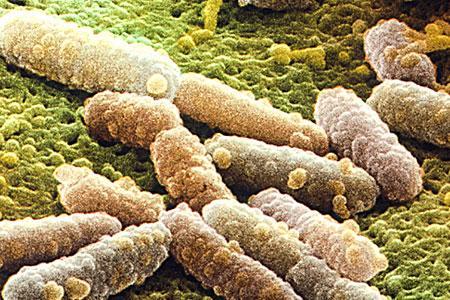 Bakterija Escherichia coli pod mikroskopom.