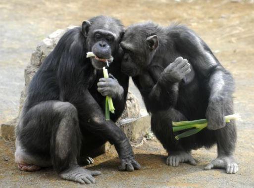 Možemo li na primjeru čimpanzi otkriti nešto o vlastitoj psihologiji?