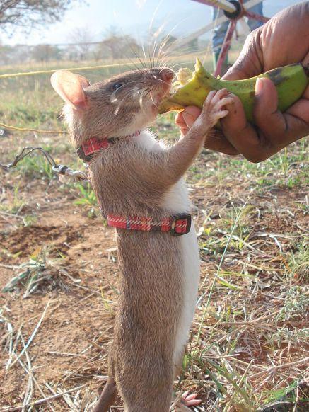 Hrabri mali štakor dobije hranu kao nagradu svaki put kada detektira minu.