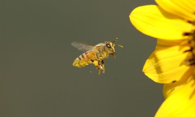 Hoće li pčele pomoći u još jednoj ljudskoj pošasti?