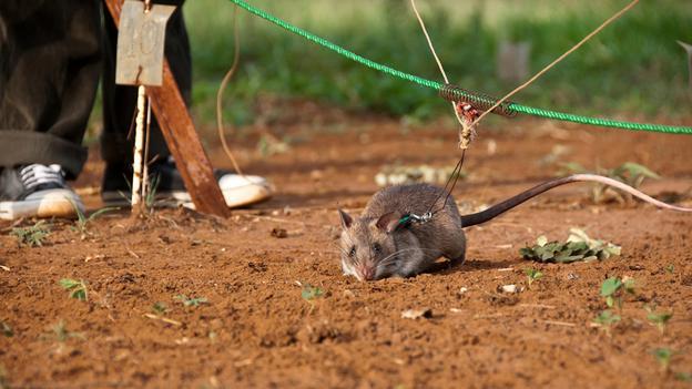 Afrički štakorski hrčak u trenutku treninga.