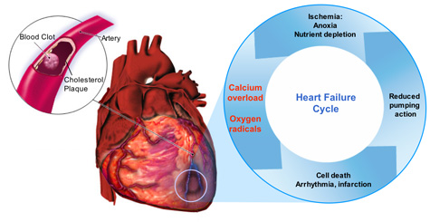 Unos anorganskog klacija stvara kalcifikaciju krvožilnog sustava i naravno poznatu kalcifikaciju pinealne žlijezde.