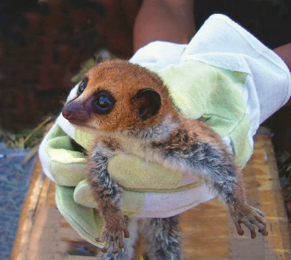 Cheirogaleus lavasoensis - patuljasti lemur.