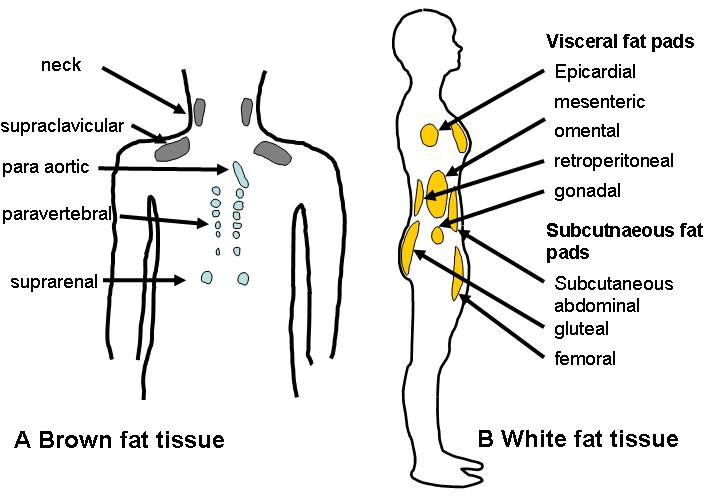 Da bismo stvarali zdravu smeđu masnoću potreban je pravilan rad endokrinog sustava i pravilna prehrana.