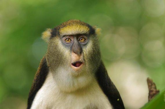 Maleni razgovorljivi majmuni začuđuju znanstvenike.