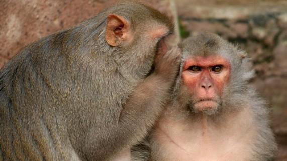 Rezultati studije koji otkrivaju da nam je ogovaranje urođeno zbog evolucijskog razvoja potiče pitanje da li životinje tračaju?