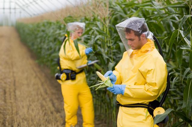 Tipičan radni dan na Monsantovim poljima. Zbog čega istraživači nose zaštitna odjela, ako su Monsatove biljke sasvim zdrave za ljudsku upotrebu?