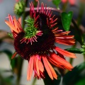 cvjeće u fukushimi