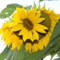 mutacije na suncokretu