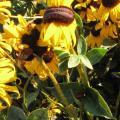 mutacije poljskog cvijeća