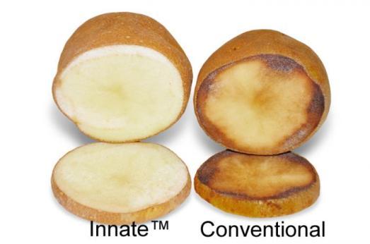 Najnovija sorta GM krumpira ne crni kada se povrijedi, nagnječi ili oguli.