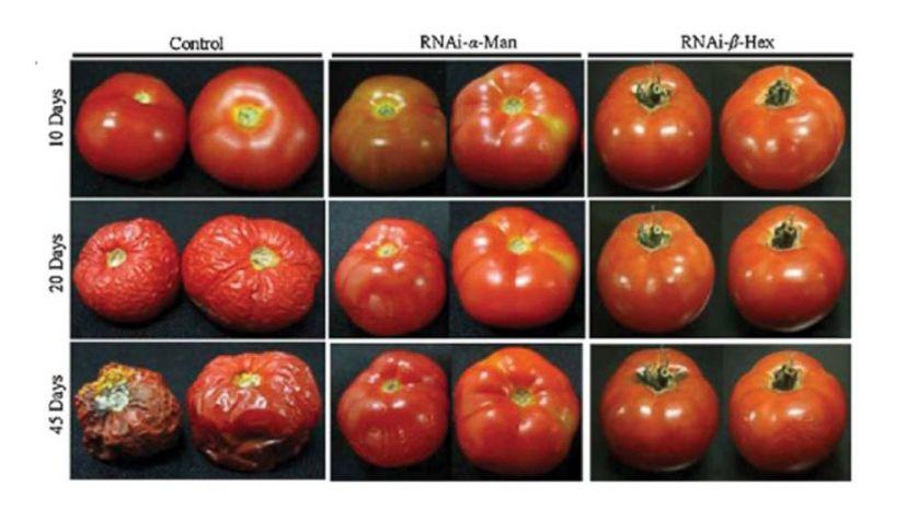 Pogledajte kako se ponašaju GM rajčice naspram tradicionalnih sorti. GM rajčice u sebi imaju gene otrovnog bršljana zbog kojih ne trule na zraku te izvan hladnjaka ostaju svježe mjesec dana.