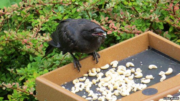 Jedna od zahvalnih vrana obitelji Mann.