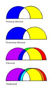 Razlika između dikromata, trikromata i tetrakromata je u broju različitih očnih čunjića koji hvataju različite valne duljine svjetlosti, s čijim prekpapanjem vidimo boje i nijanse.