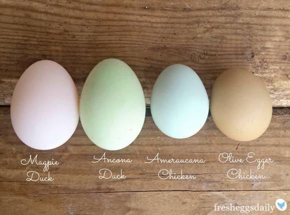 Uskoro će Uskrs i vrijeme šaranja jaja, pogledajte kako izgledaju jaja različitih vrsta kokoša za čije se predivne boje brine majka priroda. I vi možete imati ovkvo blago ako imate maleni vrt s travom.