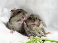miševi veseli