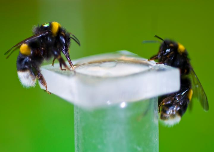 Bumbari u trenutku hranjenja s nikotinsko šećernom mješavinom, na slici vidimo kako se pripadnici iste kolonije radije hrane s nikotinom ako se među njima nalaze bumbari zaraženi parazitima.