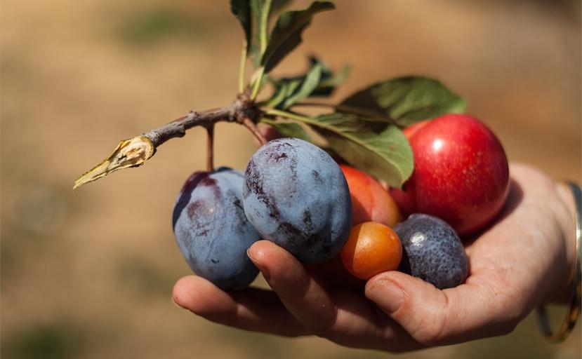 Gotovo je nevjerojatno da ove uksune plodove možete dobiti s jednog jedinog drveta.