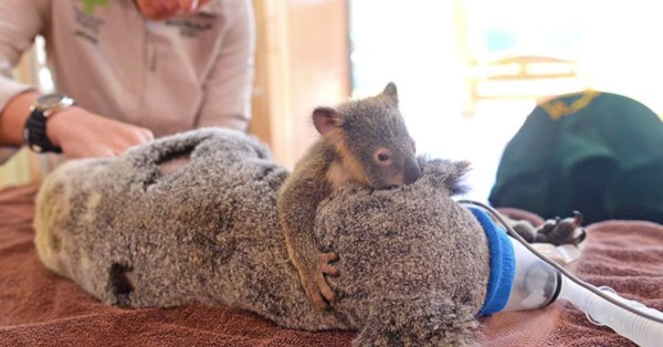 Mladunče koale nije htjelo napustiti svoju mamu čak niti za vrijeme teške operacije.