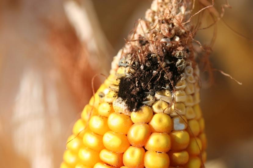 Crna plijesan ili A. niger na kukuruznom klipu.