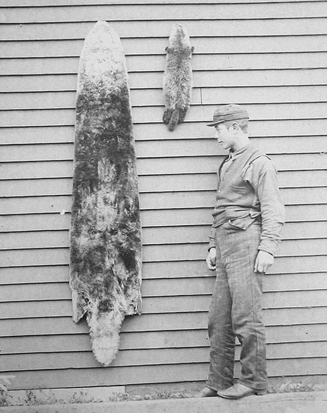 krzno morske vidre 1892