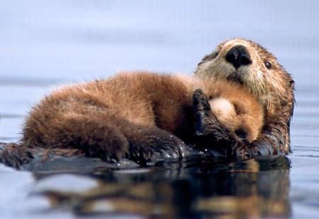 Dovoljno je da pogledate ovu sliku pa ćete shvatiti zašto su morske vidre jedna od najomiljenijih divljih životinja na svijetu.
