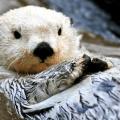 arktička morska vidra