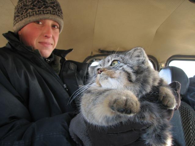 Znanstvenici spašavaju primjerak manula u središnjoj Mongoliji.