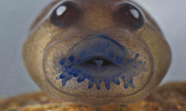 Punoglavac s nema proto-zube jer ne jede biljke, umjesto toga ima punašne 'usnice' za usisavanje neoplođenih jajašaca.