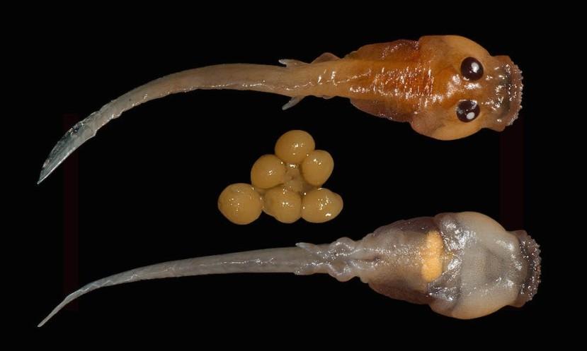Punoglavci se hrane neoplođenim jajašcima majki. U donjem redu vidite stomak punoglavca koji je tek rpogutao neoplođeno jajašce.