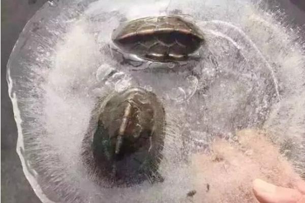 Zaleđene kineske kornjačice.