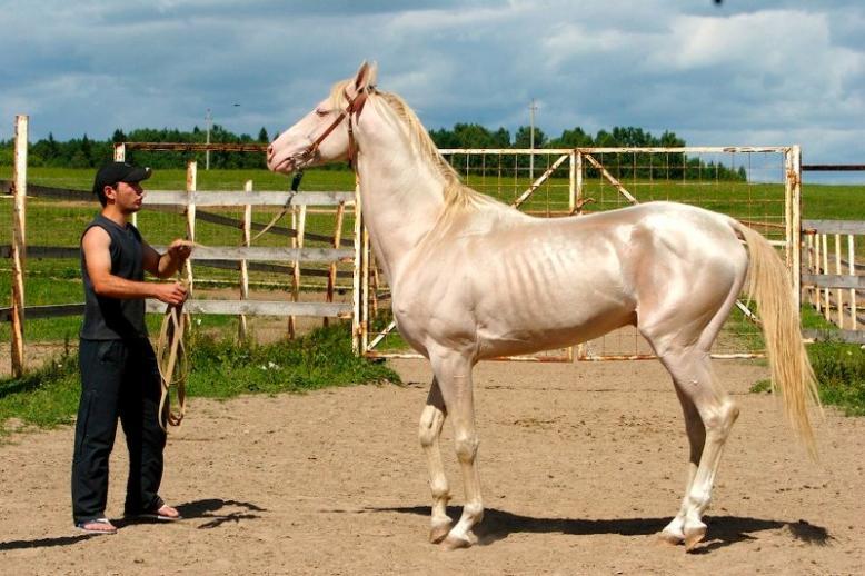 Akhal-Teke kremaste boje s nevjerojatnim metalnim odsjajem je proglašen najljepšim konjem 2012.