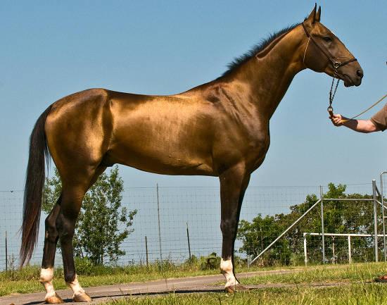 Pastuh Akhal-Tekea tamno smeđe boje s poznatim zlatnim sjajem.