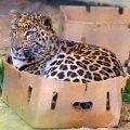 koja je razlika između male mace i velike mačketine?