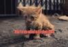 1 glavna mačić